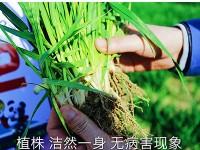 小麦大田用种