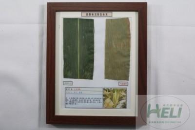 植物病害原色标本玉米锈病农作物病害教学标本