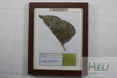 植物病害原色标本杨树锈病园林树木病害教学标本