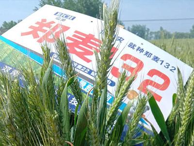 抗倒伏小麦麦种