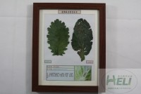 植物病害原色标本白菜炭疽病蔬菜病害教学标本