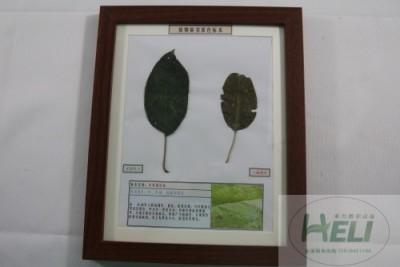 植物病害原色标本苹果圆斑病果树病害教学标本