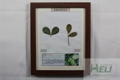 植物病害原色标本花生黑斑病农作物病害教学标本