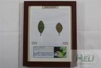 植物病害原色标本大叶黄杨炭疽病园林树木病害教学标本