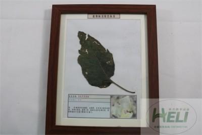 植物病害原色标本曼陀罗黑斑病园林花卉病害教学标本