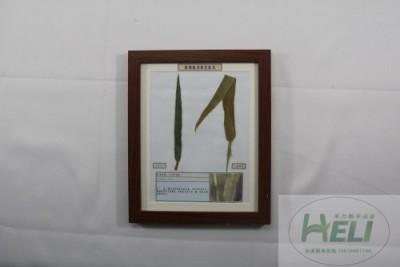 植物病害原色标本小麦叶锈病农作物病害教学标本