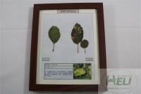 植物病害原色标本苹果花叶病毒病果树病害教学标本