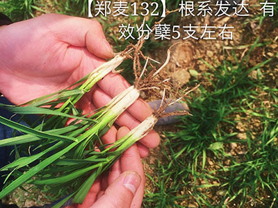 丰产小麦新品种