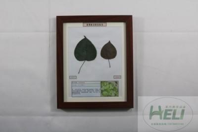 植物病害原色标本梨树黑星病园林果树病害教学标本