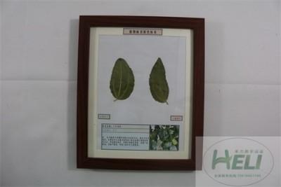 植物病害原色标本大枣锈病园林果树病害教学标本