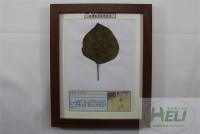 植物病害原色标本绿豆轮纹病农作物病害教学标本