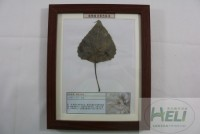 植物病害原色标本杨树灰斑病园林树木病害教学标本