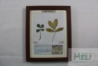 植物病害原色标本花生网斑病农作物病害教学标本