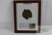 植物病害原色标本紫荆角斑病园林花卉病害教学标本