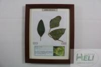 植物病害原色标本菜豆锈病标本农作物病害原色标本