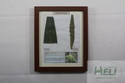 植物病害原色标本玉米花叶病毒病农作物病害教学标本