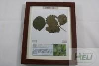 植物病害原色标本草莓蛇眼病标本果蔬病害原色标本