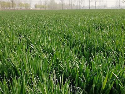 国审小麦新品种