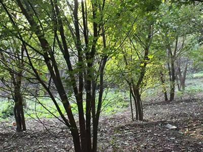 丛生五角枫种植基地