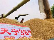 小麦种子的简单介绍
