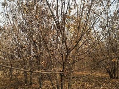 五角枫种植